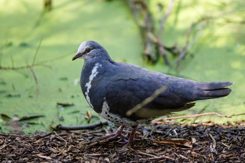 Wonga Pigeon (Leucosarcia melanoleuca)