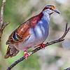 Brush Bronzewing (Plaps elagans)