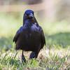 Little Raven (Corvus mellori)