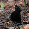 Common Blackbird(Turdus merula)