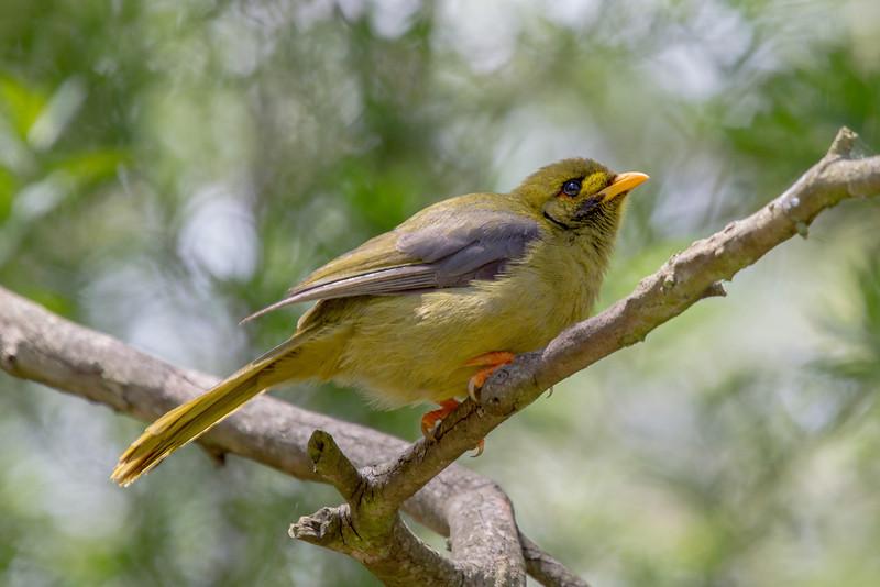 Bell Miner (Manorina melanophrys)
