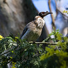 Noisy Friarbird (Nycticorax caledonicus)