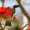 Helmeted Friarbird (Philemon buceroides)