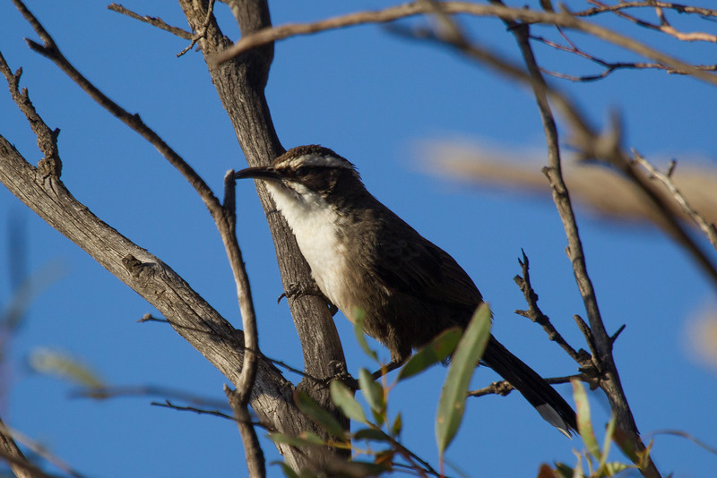 White-browed Babbler (Pomatostomus superciliosus)