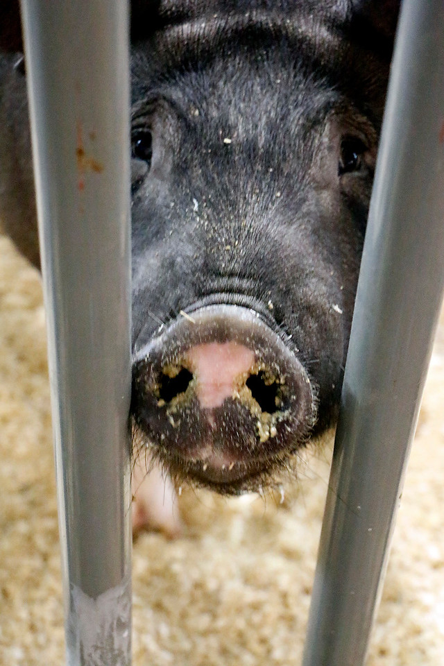 Patches the pig hams it up for the camera Friday, August 4, 2017 at the Larimer County Fair. (Michelle Risinger/ Loveland Reporter-Herald)
