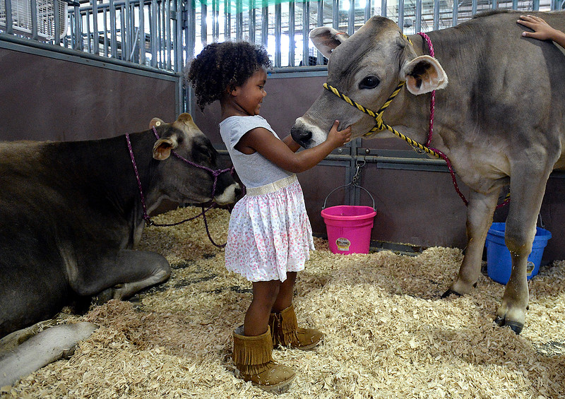 Georgia Rucks, 3, pets a cow named Paisley in the barn Monday, Aug. 6, 2018, during the Larimer County Fair at The Ranch in Loveland.  (Photo by Jenny Sparks/Loveland Reporter-Herald)