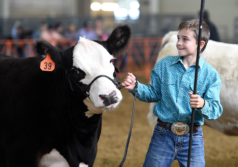 Blake Brewster, 10, leads his steer, Rocko, around the ring Monday, Aug. 6, 2018, while showing him during the market beef competition during the Larimer County Fair at The Ranch in Loveland.  (Photo by Jenny Sparks/Loveland Reporter-Herald)
