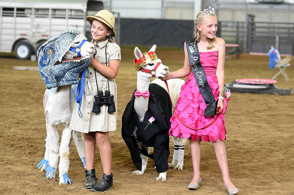 . Dressed as a dinosaur handler with her alpaca velociraptor and prom queen with her alpaca prom king, Berthoud sisters Ryleigh Kilker, 9, left, and Kashleigh Kilker, 11, keep their animals in place for the alpaca costume contest Thursday, Aug. 2, 2018, during the Larimer County Fair at The Ranch in Loveland. Ryleigh took first place in the junior division and Kashleigh took third place in the intermediate division.  (Photo by Jenny Sparks/Loveland Reporter-Herald)
