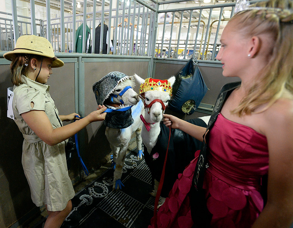 . Sisters Ryleigh Kilker, 9, left, and Kashleigh Kilker, 11, both of Berthoud,  get their alpaca ready for the alpaca costume contest Thursday, Aug. 2, 2018, during the Larimer County Fair at The Ranch in Loveland. Ryleigh and her alpaca, Luna, dressed as a dinosaur handler and a velociraptor and Kashleigh dresses as a prom queen with her alpaca, Larry, as her prom king.   (Photo by Jenny Sparks/Loveland Reporter-Herald)