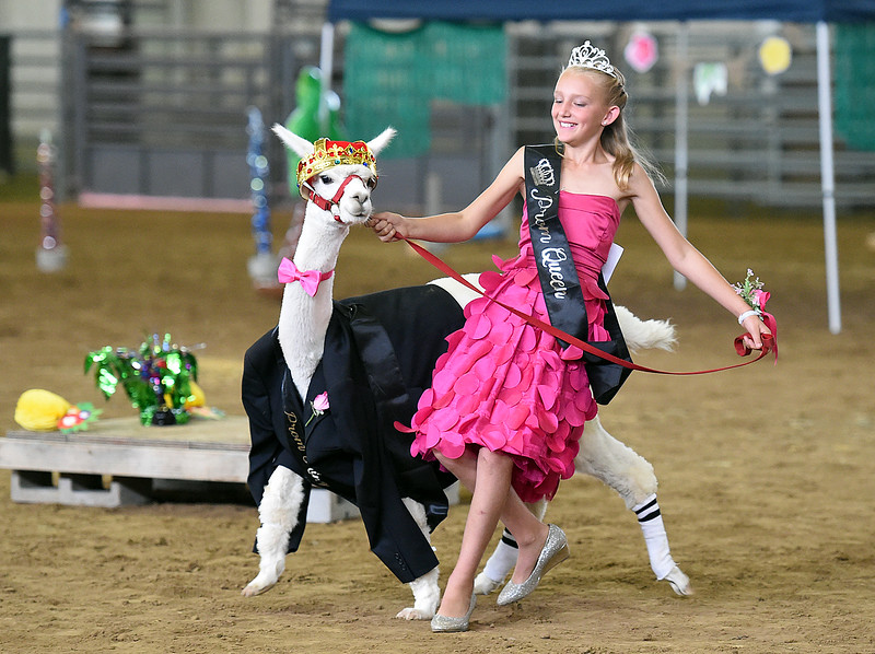 Dressed prom queen with her alpaca prom king, Kashleigh Kilker of Berthoud, 11, tries to lead her alpaca, Larry, into the ring for the alpaca costume contest Thursday, Aug. 2, 2018, during the Larimer County Fair at The Ranch in Loveland.   (Photo by Jenny Sparks/Loveland Reporter-Herald)