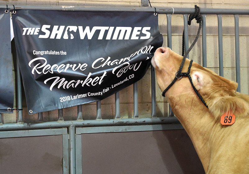 Midas 2, the Larimer County Fair's Reserve Champion market beef steer, chews on his award sign hanging in his pen Wednesday, Aug. 8, 2018, during the Fair Sale at the Larimer County Fair at The Ranch in Loveland.  (Photo by Jenny Sparks/Loveland Reporter-Herald)