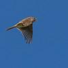 Eurasian Skylark - Sanglærke