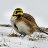 Horned Lark<br /> Flight Lock Road, Waterford 1/20/14