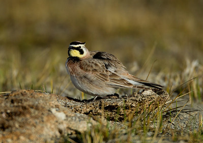 Horned Lark  Crowley Lake 2014 02 19-2.CR2