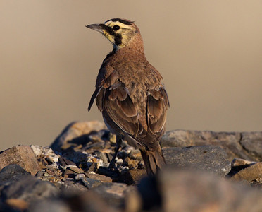 Horned Lark Owens Lake  2011 06 15-1.CR2