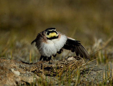 Horned Lark  Crowley Lake 2014 02 19-3.CR2