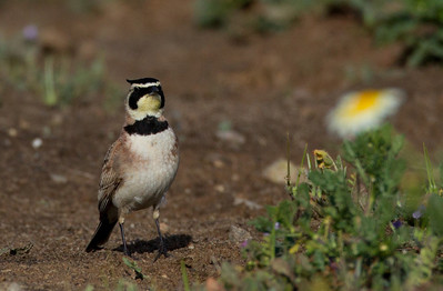 Horned Lark  Ponto Carlsbad 2014 04 02-2-1.CR2