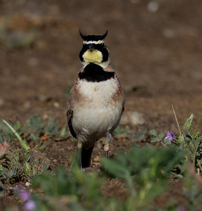 Horned Lark  Ponto Carlsbad 2014 04 02-4-1.CR2