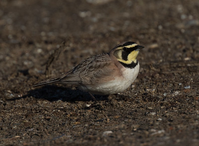 Horned Lark San Diego River 2019 02 22-2.CR2