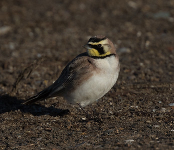 Horned Lark San Diego River 2019 02 22-1.CR2