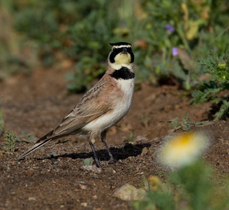 Horned Lark  Ponto Carlsbad 2014 04 02-1-1.CR2