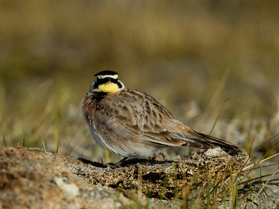 Horned Lark  Crowley Lake 2014 02 19-1.CR2