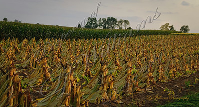 090906_tobacco-field-in-evening-1