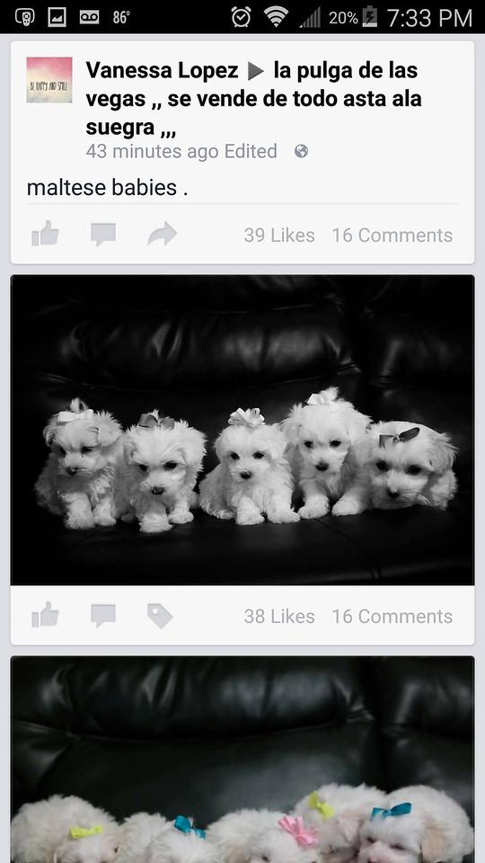 White Dogs  Las Vegas Breeders
