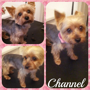 Female for Adoption yorkie small 2016