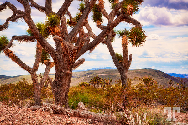 joshua-trees-arizona-LU