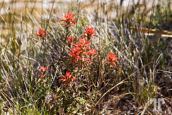 Red flowers at Red Rock Canyon, Nevada