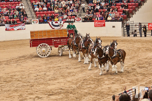 southpointcasino-clydesdales-budweiser-29