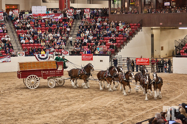 southpointcasino-clydesdales-budweiser-30