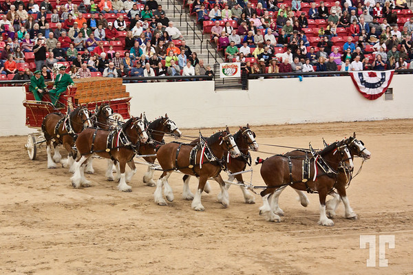 southpointcasino-clydesdales-budweiser-27
