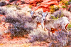desert-bighorn-sheep-valley-of-fire-vegas-nevada-12