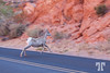desert-bighorn-sheep-valley-of-fire-vegas-nevada-4