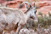desert-bighorn-sheep-valley-of-fire-vegas-nevada-13