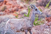 Desert Bighorn Sheep in the Valley of Fire, Nevada (near Las Vegas Attractions)