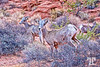 desert-bighorn-sheep-valley-of-fire-nevada-2