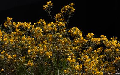 Desert Spring - Blue Palo Verde