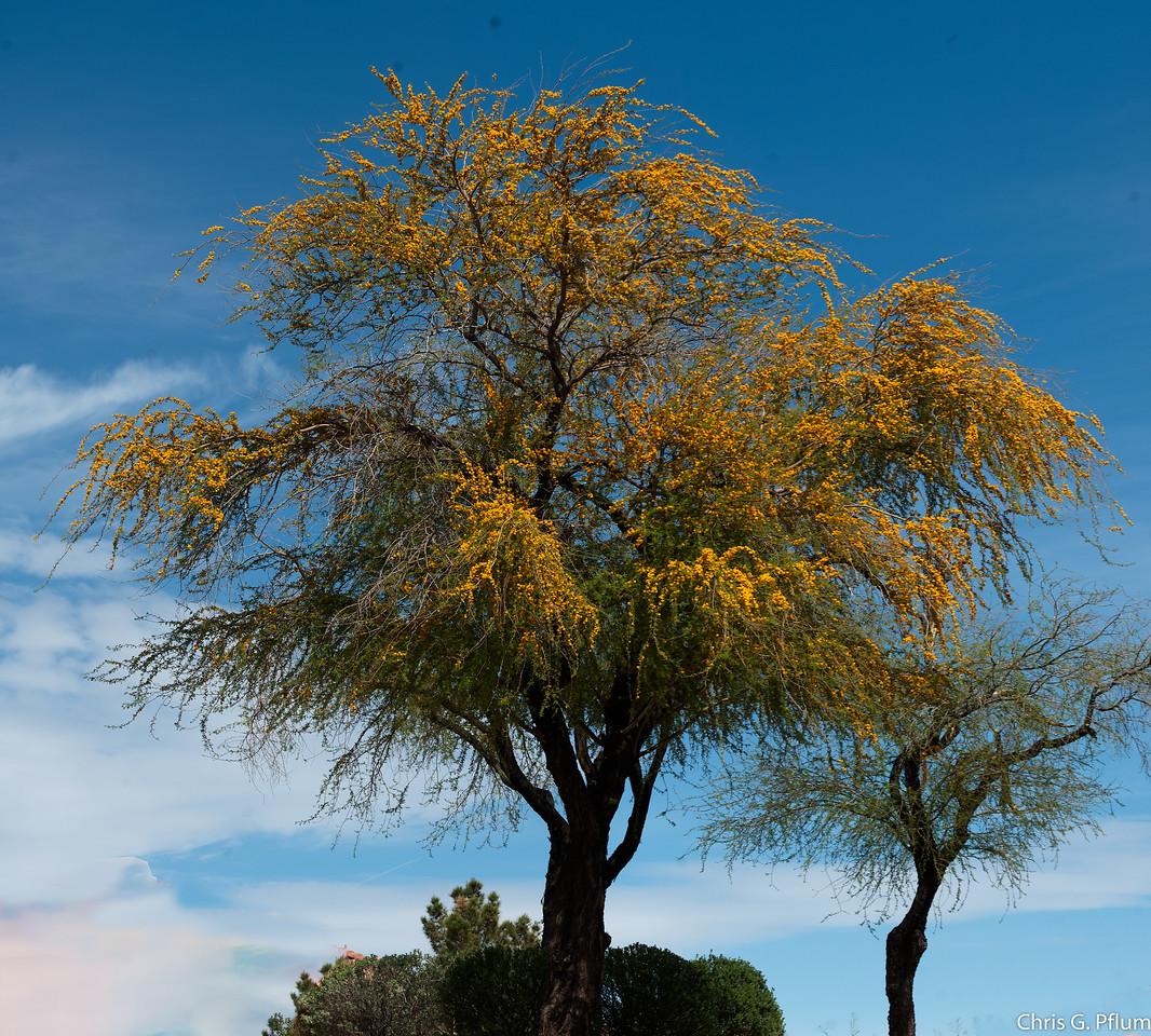 Desert Spring - weeping wattle (Acacia saligna)