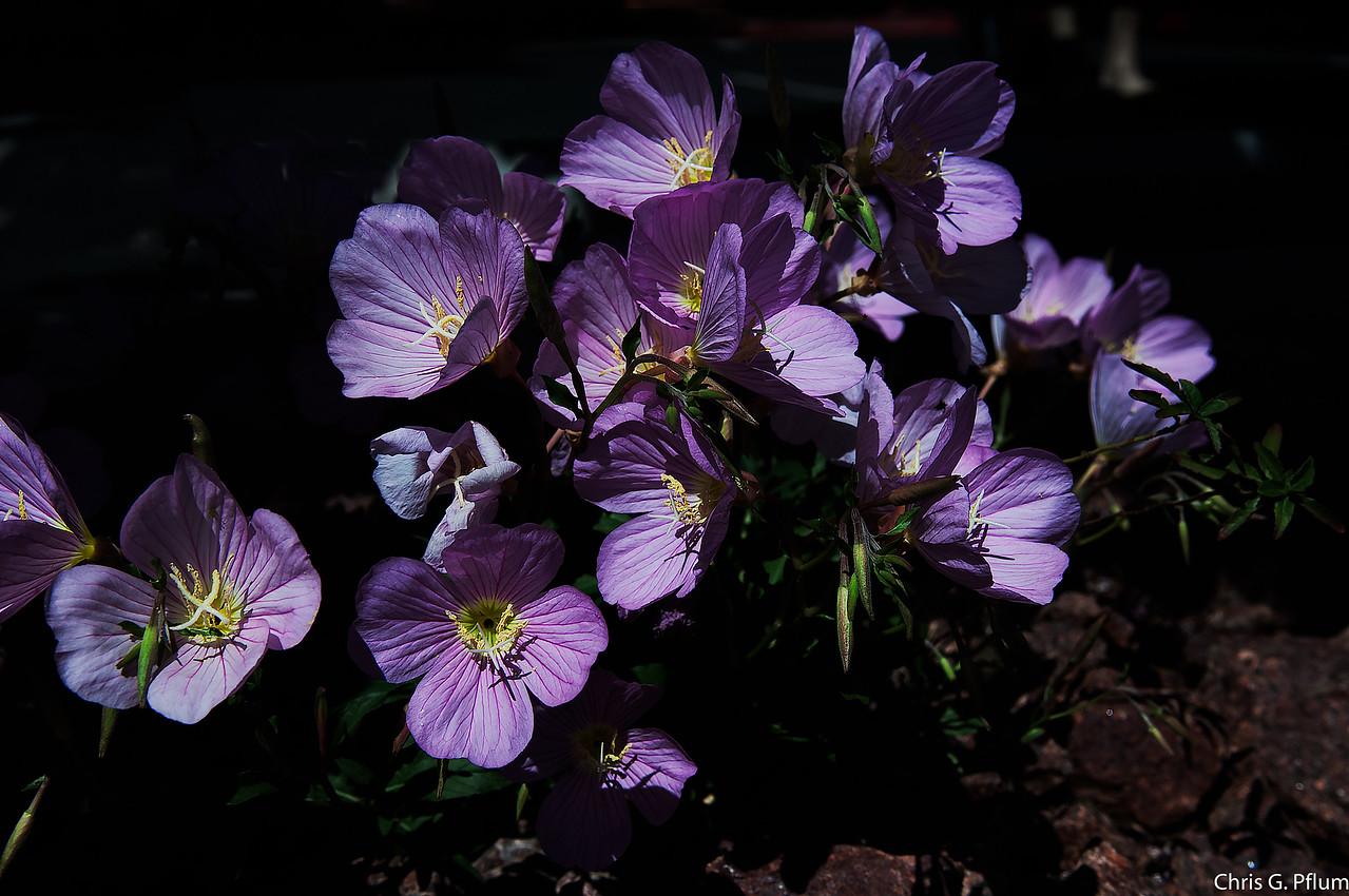 Desert Spring - poppies