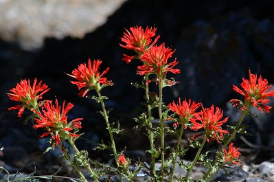 Bristle Cone Pine Trail - Indian Paintbrush, Mnt Charleston, NV