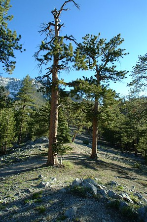 Bristle Cone Pine Trail, Mnt Charleston, NV