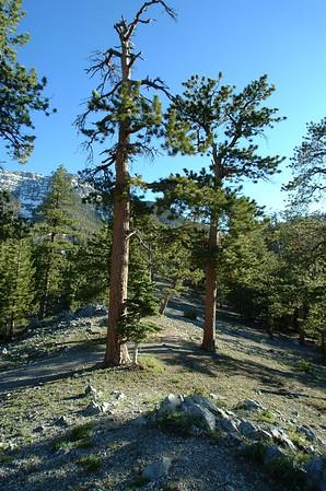 Bristle Cone Pine Trail, Mnt Charleston, NV