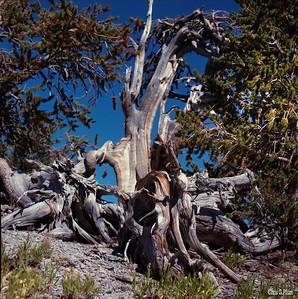 Mnt Charleston, Bristlecone Pine, 1985 120 mm Kodak VR 100