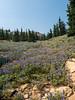 Silvery lupine field