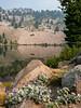 Silvery lupine at Lake Helen