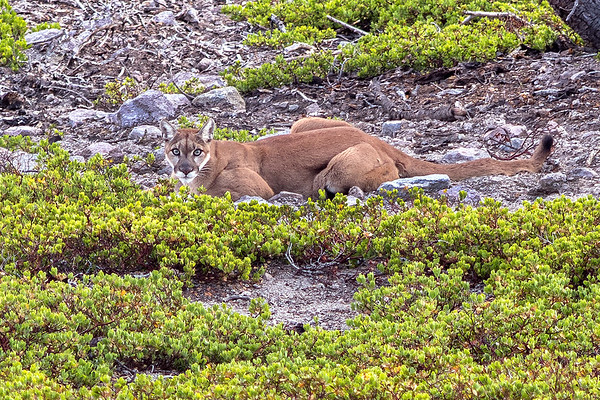 Mountain Lion at Dusk, Lassen Volcanic National Park, CA