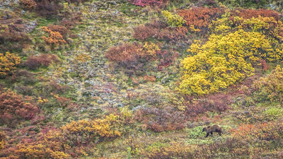 Grizzly, on a hillside, as taken from the Denali Wilderness Tundra Tour bus.
